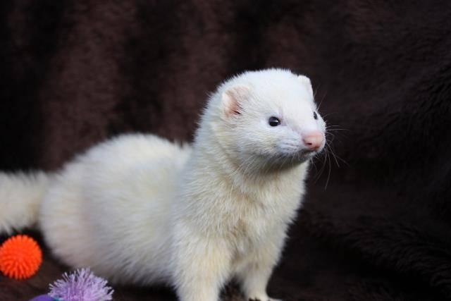 Белый хорек альбиносы и дью