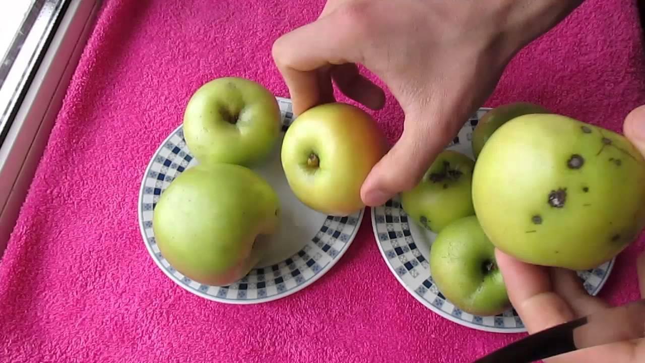 Описание и отзывы о сорте яблок семеренко