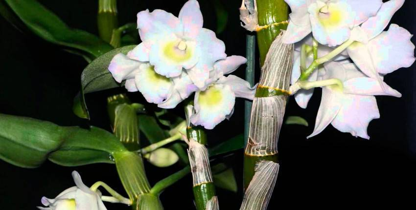 Орхидея дендробиум нобиле отцвела: что делать дальше, нужно ли обрезать побеги, каков уход после в домашних условиях, почему нет бутонов, как заставить появится? selo.guru — интернет портал о сельском хозяйстве