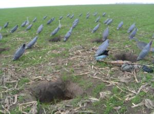 Убой гусей: как правильно и быстро убить гуся в домашних условиях?