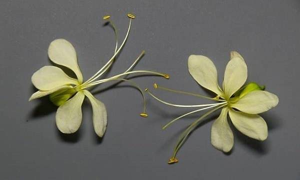 Дивной красоты цветок — клеродендрум филиппинский: фото и советы по уходу