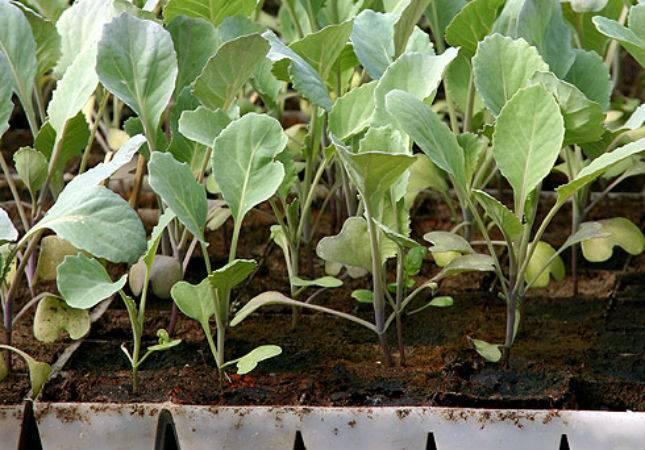Капуста как выращивать все секреты - огород природное земледелие