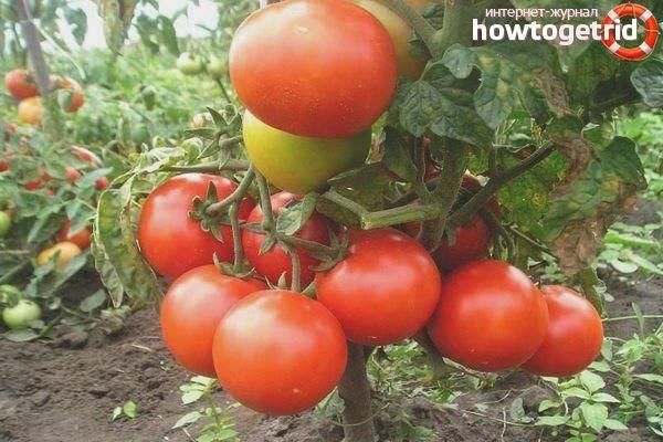 Неприхотливая новинка для огородов и парников — томат лев толстой f1: описание сорта и его характеристики