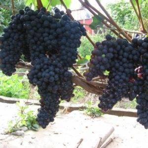 Виноград юнкер описание сорта фото отзывы видео