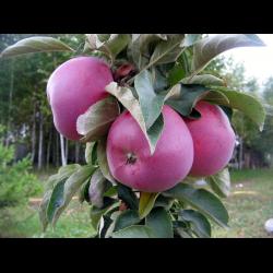 Описание сорта колоновидной яблони диалог