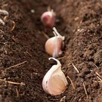 Чеснок: выращивание на огороде, хранение, сорта