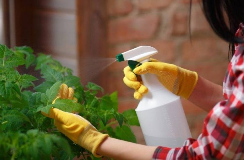 Чем обработать помидоры от фитофторы в открытом грунте: лучшие средства против фитофтороза, инструкция как правильно опрыскать томаты