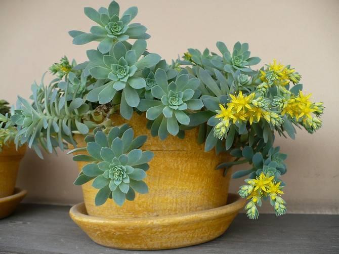 Очиток ложный (39 фото): посадка и уход за почвопокровным седумом, описание сортов «розеум» и «фулдаглут», выращивание из семян