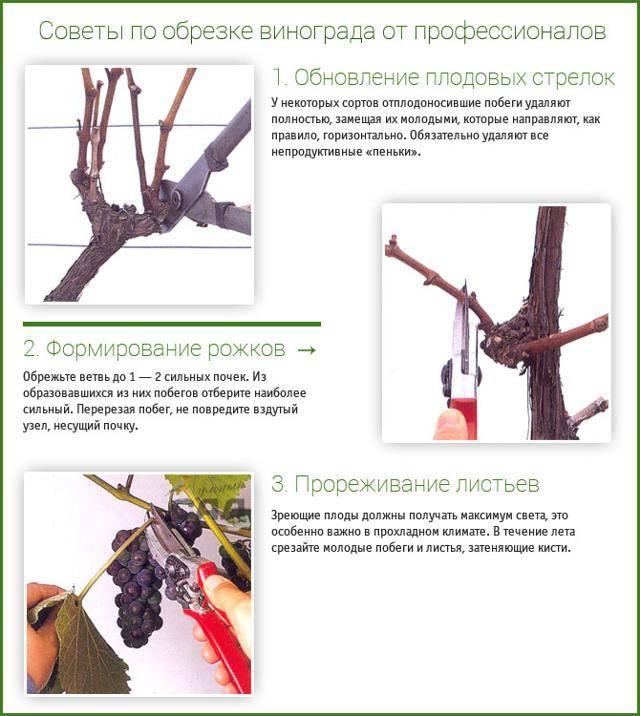Как и когда обрезать виноград, как правильно, осенью, весной, летом, видео для начинающих, схемы обрезки, первого года, двухлетнего, фото