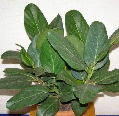 Как выращивать и размножать фикус баньян в домашних условиях?