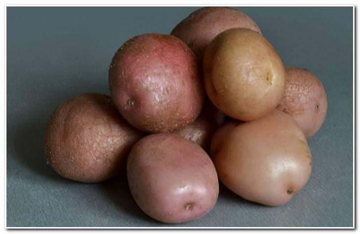 """Картофель романо - описание сорта, фото, отзывы, посадка и уход - журнал """"совхозик"""""""