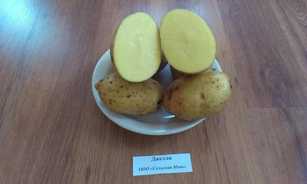 Картофель джелли: описание и характеристика, отзывы