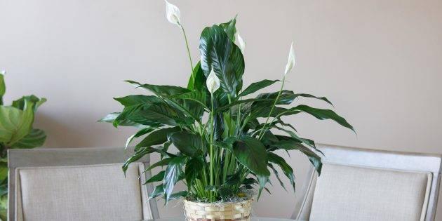 Цветок женское счастье (спатифиллум): как правильно ухаживать за растением в домашних условиях