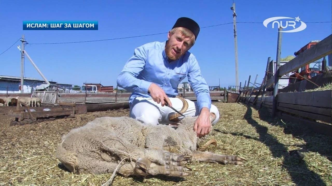 Как зарезать и разделать барана и овцу — пошаговая инструкция
