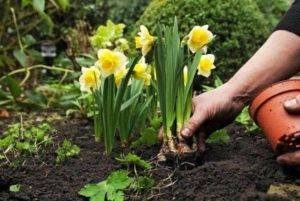 Когда выкапывать тюльпаны после цветения в открытом грунт, в регионах фото видео