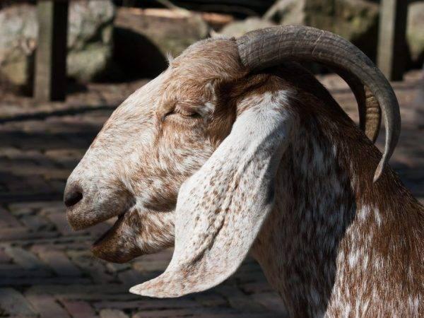 Нубийская коза: описание породы и содержание, продажа молодняка, молока и мяса