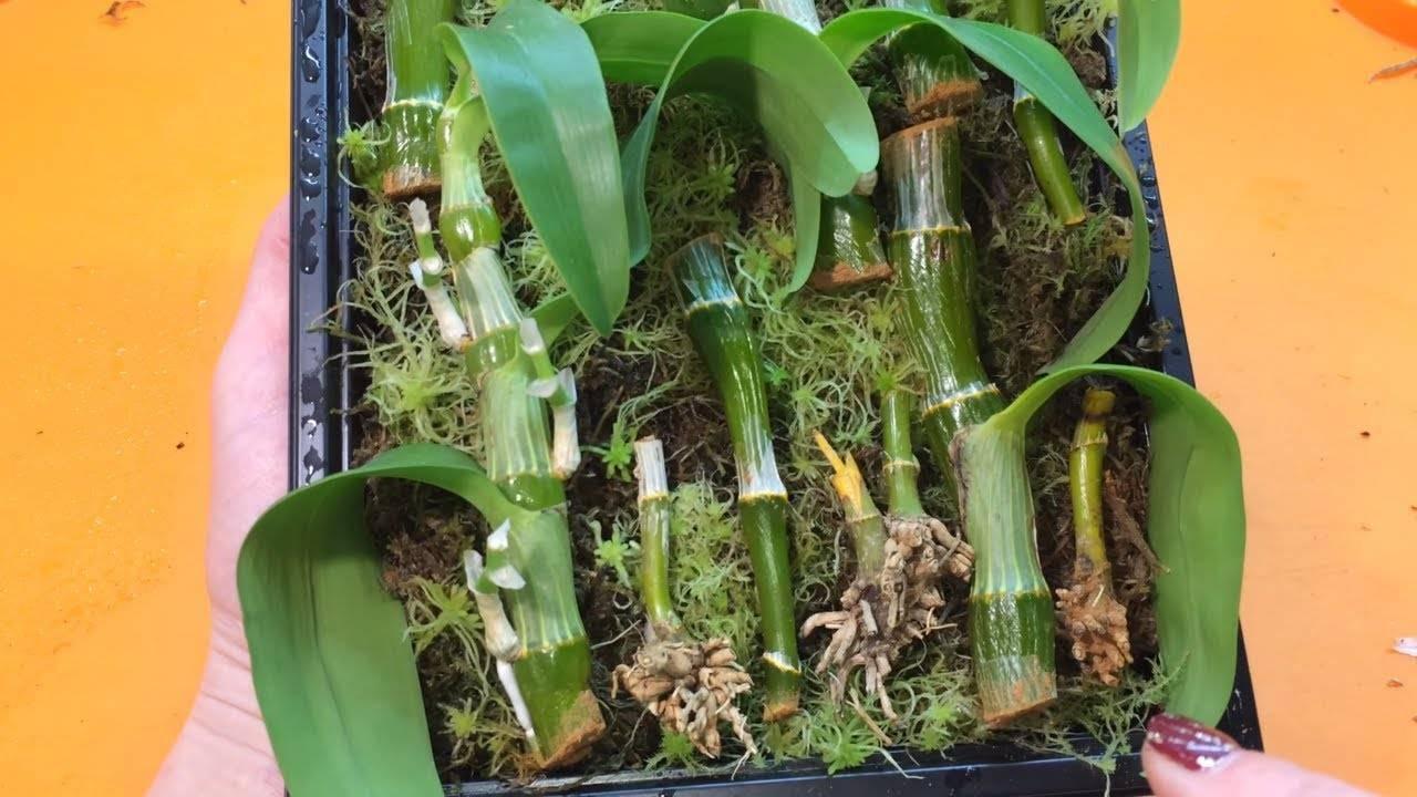 Правильный уход за орхидеей дендробиум в домашних условиях