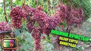 Сорта винограда кишмиш: запорожский, молдавский, мечта, арсеньевский