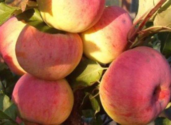 Яблоня услада: описание сорта и его фото, посадка и уход, характеристики и особенности selo.guru — интернет портал о сельском хозяйстве