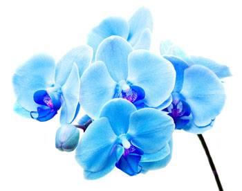 Бывают ли синие орхидеи - загадка голубого фаленопсиса