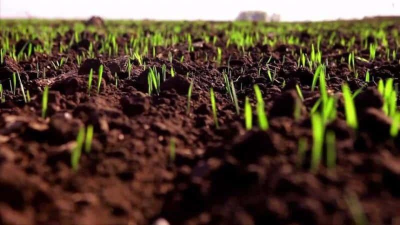 Технология выращивания озимой пшеницы: когда и как сеять