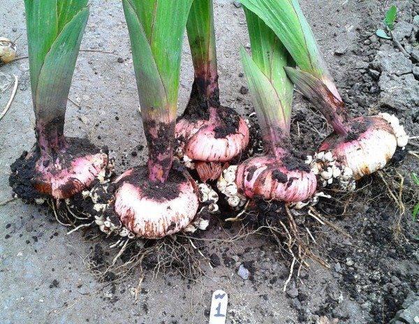 Как хранить гладиолусы зимой в домашних условиях: от а до я – выкопка, обработка, подготовка луковиц к хранению– 4 сезона огородника