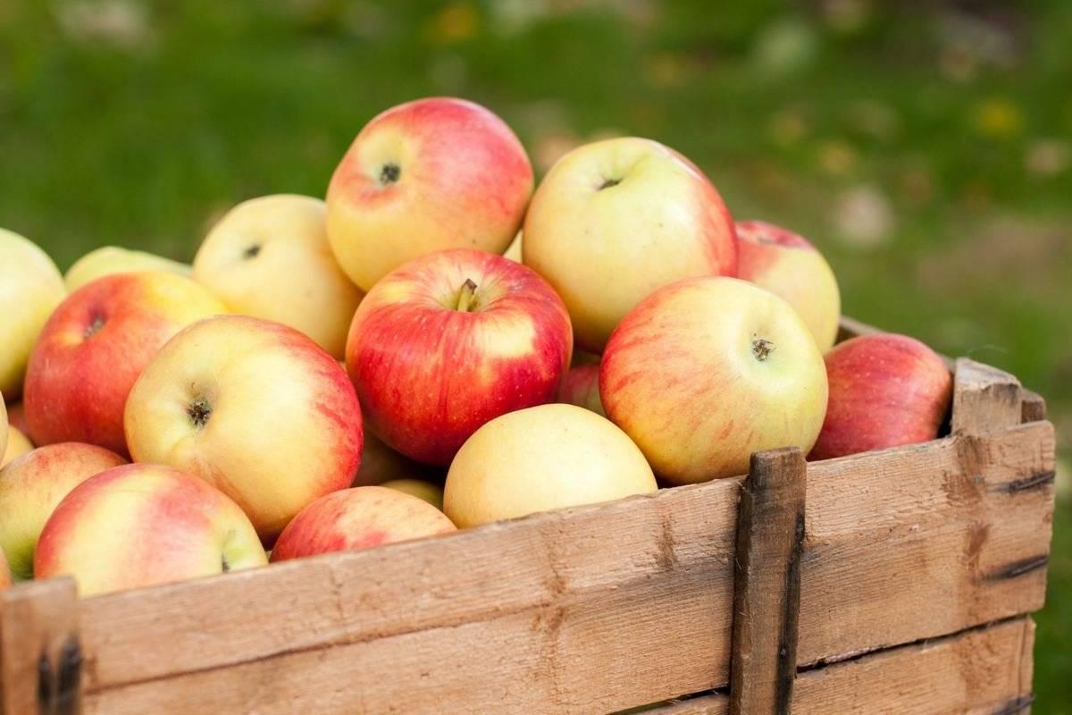 Как хранить яблоки: при какой температуре сохранять свежими в домашних условиях, где лучше хранить
