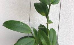 Хойя керри (30 фото): уход за цветком в домашних условиях. описание хойи «сплеш» и других сортов. особенности размножения цветка листом и другие способы