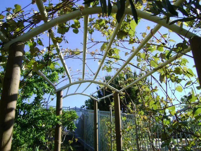 Украинский красавец — сорт винограда крупноплодного рута
