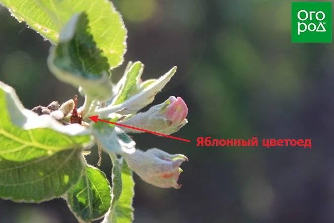Почему яблоня не плодоносит? 4 причины - и обрезка яблони летом