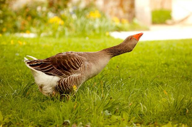 Характеристика тульских гусей