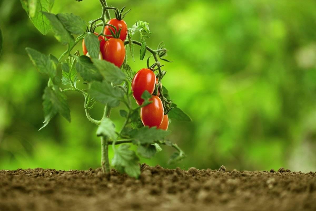 Ранние сорта томатов для открытого грунта: низкорослые
