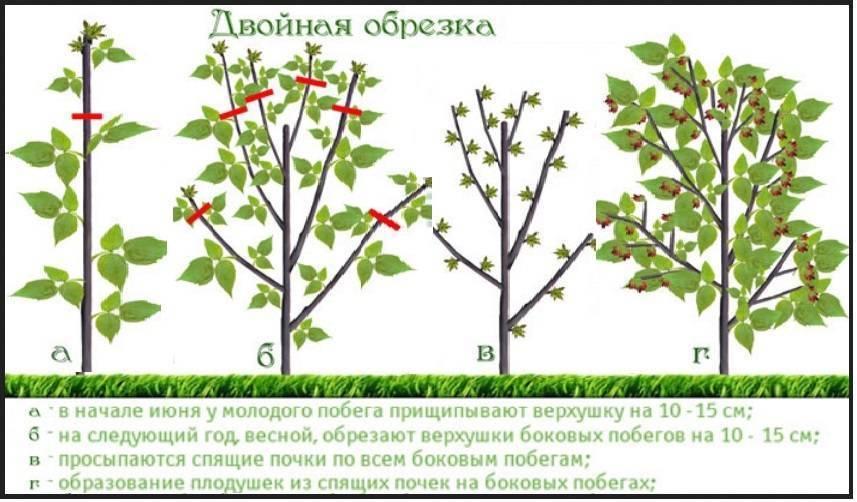 Обрезка малины осенью. уход за малиной - обрезка :: syl.ru