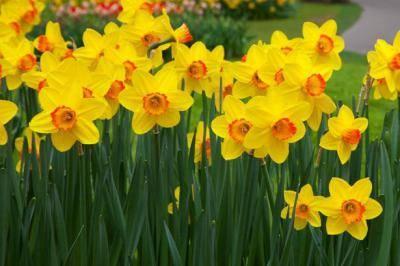 Как добиться цветения нарцисса в саду