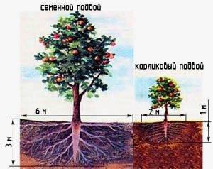 Карликовые яблони: сорта, посадка и уход, фото, отзывы