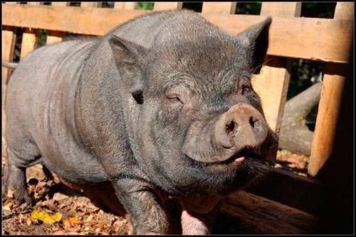 Как содержать свиней в домашних условиях для начинающих: как ухаживать за поросятами, уход и кормление