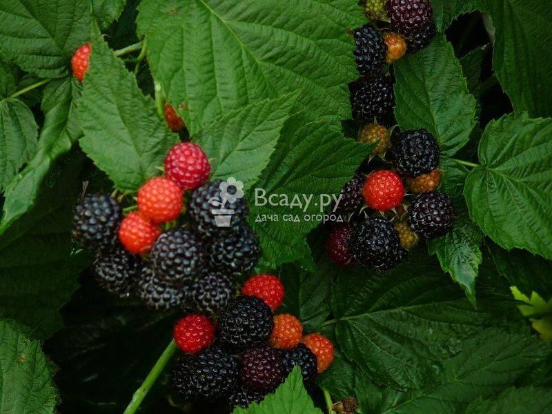 Чёрная малина: описание, характеристика, уход за растением