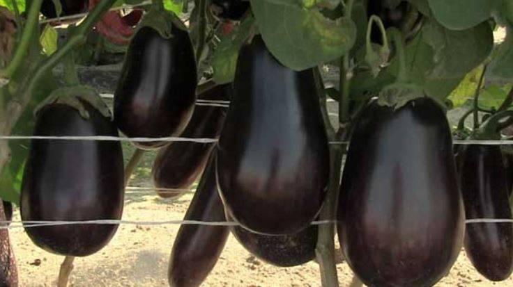 Описание сорта баклажана марципан f1, его характеристика и урожайность