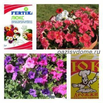 Петуния: удобрения для пышного цветения - pahistahis.ru