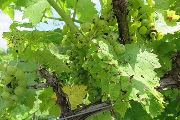 В чем опасность антракноза на винограде, признаки и методы борьбы
