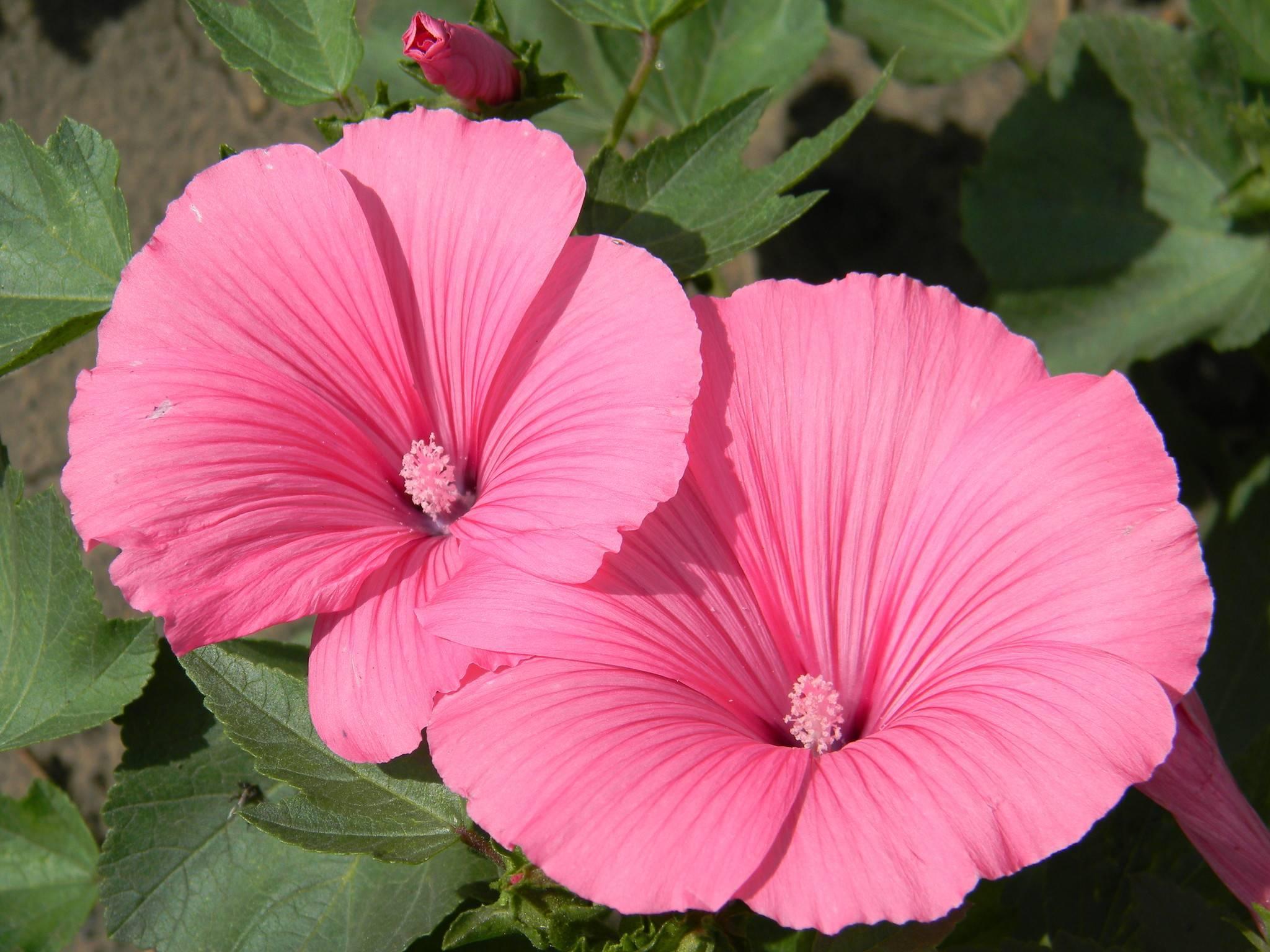 Лаватера (фото цветов) - советы, секреты, рекомендации