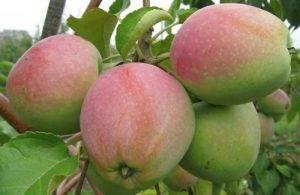Характеристики яблок аркадик — медоносы, описание, советы, отзывы, фото и видео