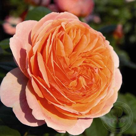 Описание розы-шраб сорта чиппендейл: выращивание паркового цветка, как ухаживать