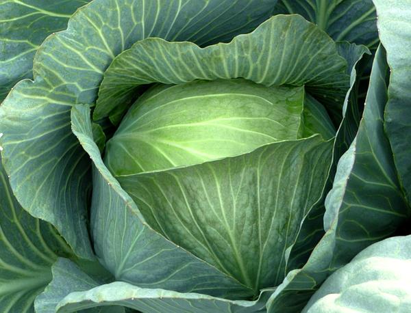 Капуста леннокс f1: описание белокочанного сорта и характеристика, фото семян, отзывы кто сажал