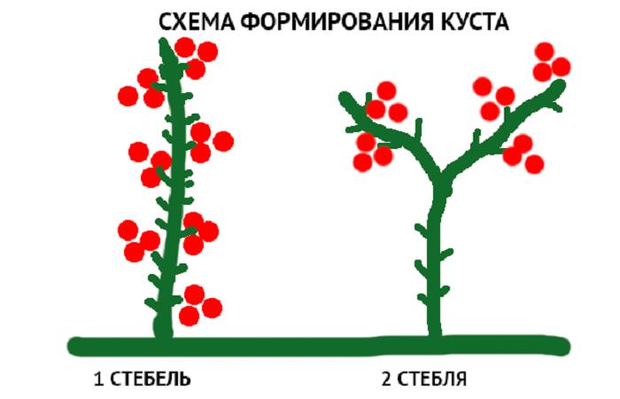 Формирование томатов в теплице: как правильно формировать куст помидоров в теплице, видео