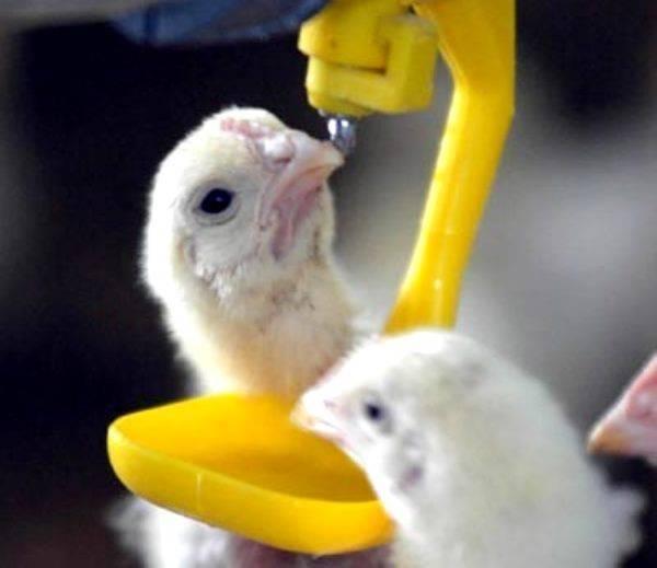 ✅ о тетрациклине для цыплят, бройлеров, кур: как разводить (дозировка с водой) - tehnomir32.ru