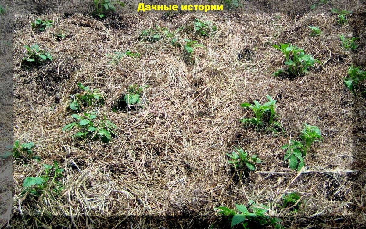 Мульчирование. опыт сибмам - огород