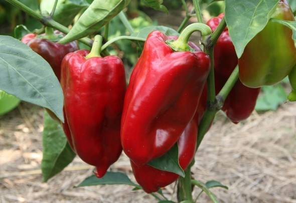 Сорта сладкого толстостенного перца для теплиц: самые лучшие семена ранних и урожайных видов  болгарского овоща для подмосковья, средней полосы россии, урала, сибири