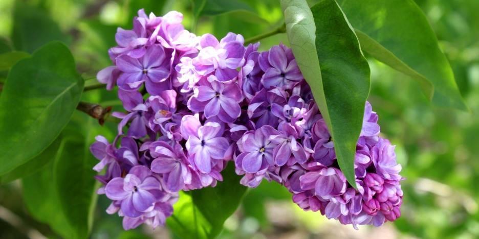 Сирень красавица москвы: описание moscow beauty, уход и посадка + фото цветущих растений в саду