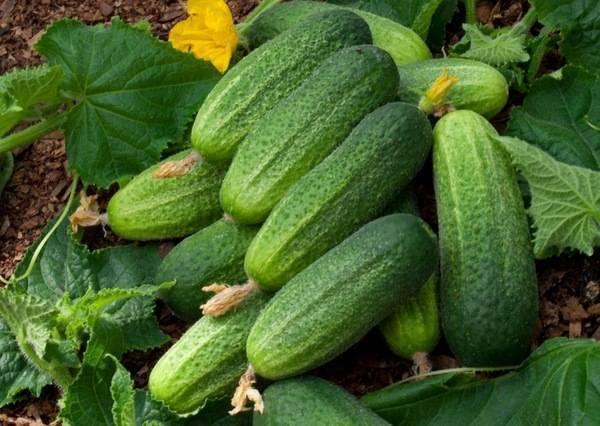 Описание огурцов сорта св 4097 цв f1, выращивание и уход за ними - всё про сады
